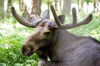Удивительная непрактичность: зачем олени каждый год скидывают и отращивают рога