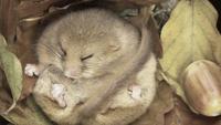 Таких сонь еще поискать: эти зверьки могут проспать 11 месяцев в году