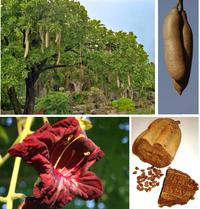 Колбасное дерево: можно ли есть аппетитные на вид плоды