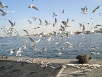 Голодные чайки у рыбного рынка