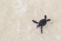 Спасенная в Velassaru Maldives черепаха выпущена обратно в дикую природу