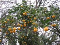Вот такие мандарины растут в Сухуме