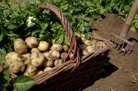 100 евро за килограмм: чем уникален картофель, который растет на острове Нуармутье