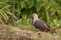 Розовый голубь. Национальный парк Блэк-Ривер-Горжес