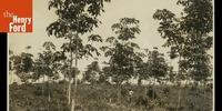 Авантюра Генри Форда и британские контрабандисты: мир во времена каучуковой лихорадки