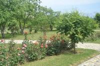 Цветущие кусты роз в апреле. Анапа. Ореховая роща.