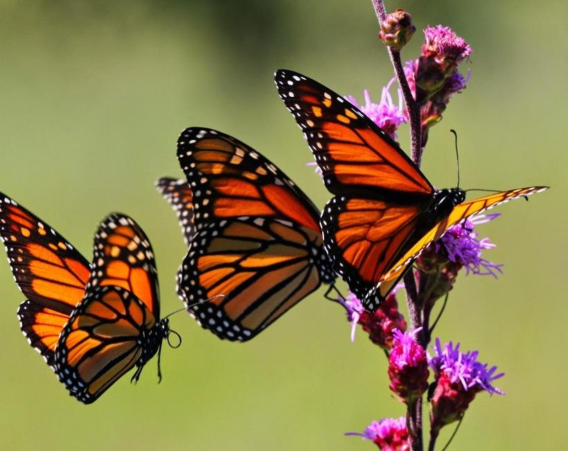 Миллиард бабочек в одном месте на Земле: заповедник бабочки монарх в Мексике