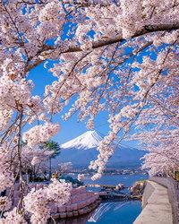 Весенняя рапсодия божественной красоты: цветение сакуры и немофилы в Фукуоке