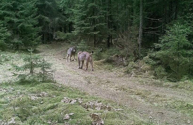 В Беларуси произошла редкая схватка рыси с волком, но финал получился необычный