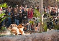 В американском зоопарке можно помериться силой с бенгальским тигром