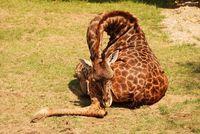 Скорее всего, вы никогда не видели, как спят жирафы. И вот почему!