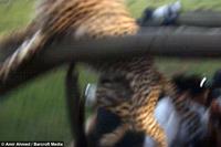 В Кении гепард упал в салон туристического автомобиля