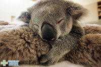 Детеныш коалы не переставал обнимать свою маму, которая находилась без сознания...