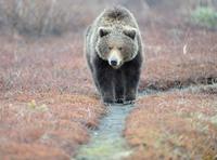 Медвежьи тропы