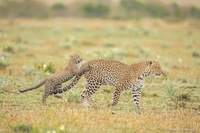 Леопардик Поли — мимилейшее создание!