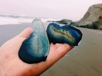 Единственная и неповторимая Velella velella — одно из самых необыкновенных созданий на планете!