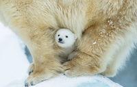13 детенышей белых медведей, от очарования которых можно упасть в обморок!