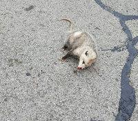Женщина обнаружила на трассе опоссума и решила, что животное погибло, но...