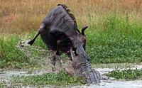 Невероятная схватка бегемота с крокодилом из-за антилопы гну
