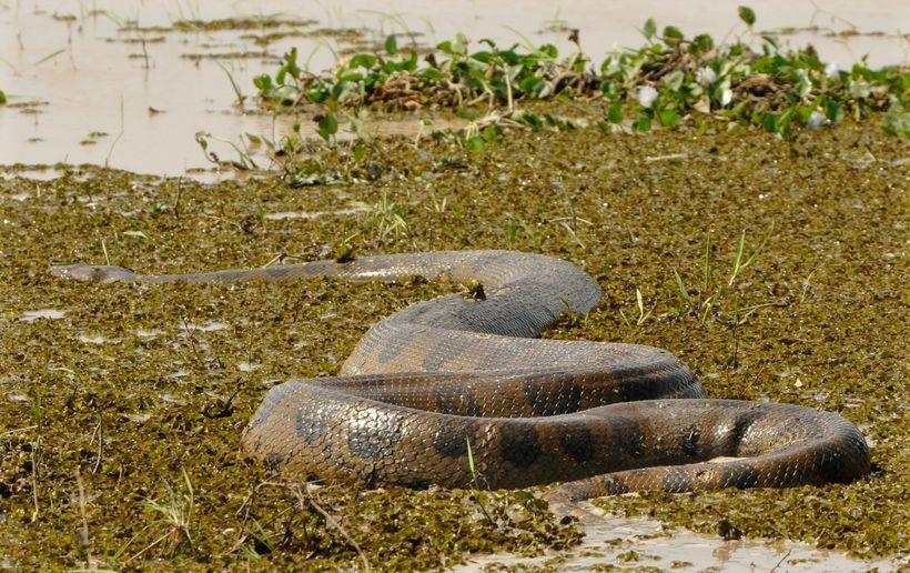 что фото самых длинных змей на планете платья комбинации шелка