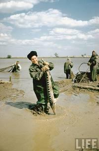 Как добывали икру в СССР