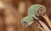 10 забавных фото детенышей хамелеонов, которые заставят тебя влюбиться в них