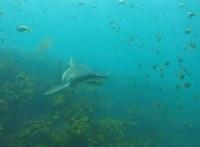 Когда этот дайвер погружается в воду, акула приплывает, чтобы обниматься с ним