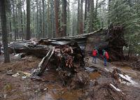 В США рухнула знаменитая гигантская секвойя с тоннелем внутри
