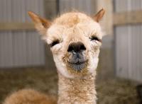 10 до слез смешных альпак, которые сделают твой день