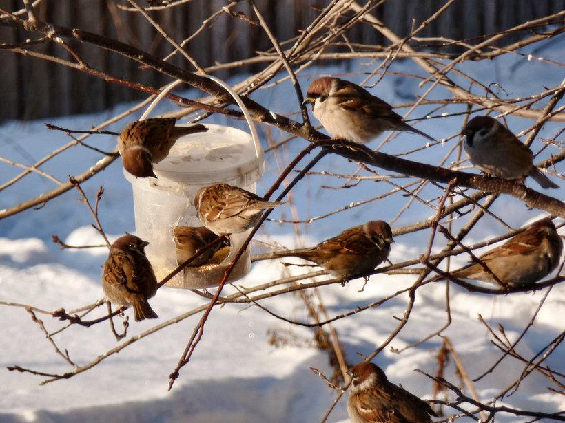 молочная зимующие птицы картинка воробей эту статью
