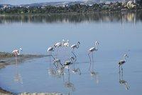 Фламинго на озере в Ларнаке