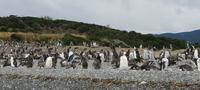 Очаровательные чилийские пингвины