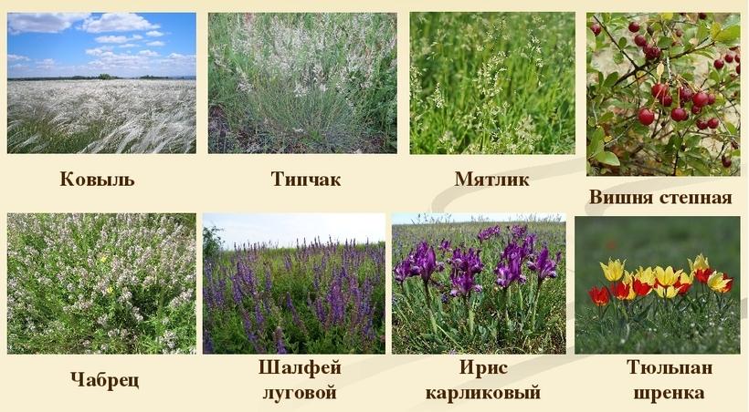 Степные растения картинки и их названия