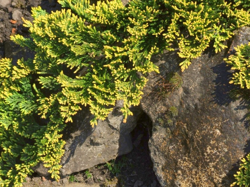Азбука трав. Можжевельник обыкновенный | 615x820