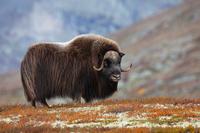 Невероятный овцебык: как  выжить без травы, в полной темноте и в окружении волков