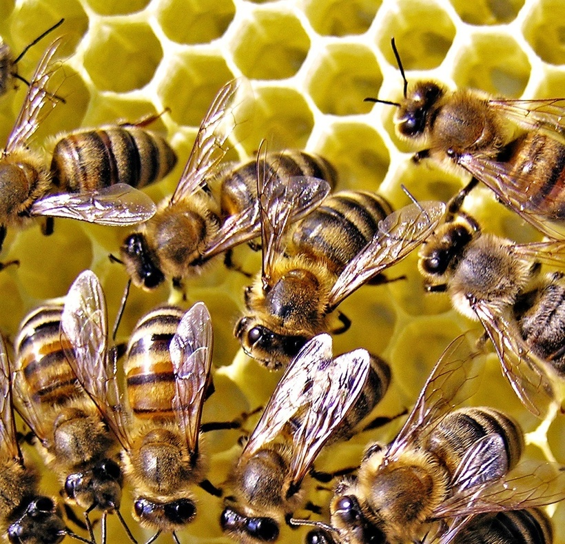 Фото пчел картинки