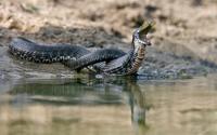Змеи-рыболовы: как охотится водяной уж