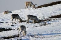 Май в лапландском заповеднике: все еще лежит снег.