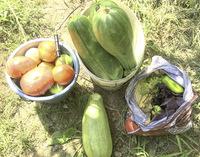 Августовские кабачки, купленные во время экскурсии по частному саду.