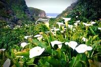 9 фото из Долины диких калл, ошеломляющей своей райской красотой