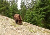 Бурый медведь в Карпатском лесу