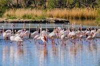 Фламинго в заповеднике Камарг