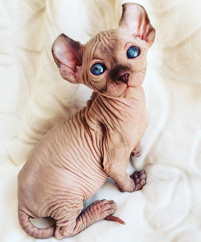 Лысые коты картинки