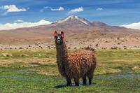 Лама в Андах