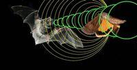 Как летучие мыши используют эхолокацию для устранения конкурентов