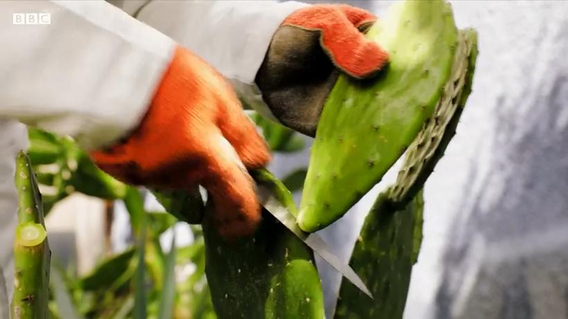 В Мексике научились делать биоразлагаемый пластик из кактусов
