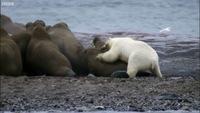 Видео: Белый медведь против целой колонии моржей