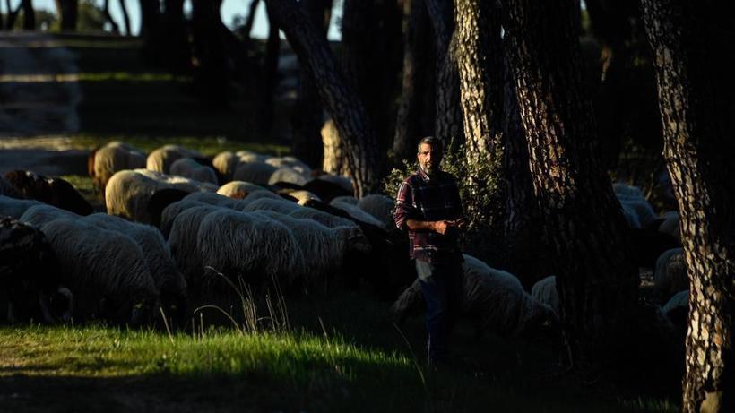 В городском парке Мадрида самые необычные садовники: за парком ухаживают овцы
