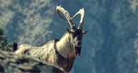 Безоаровый козел на склонах Копетдага