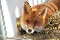 Домашние лисички из Новосибирска: как ученые приручили лис всего за 50 лет